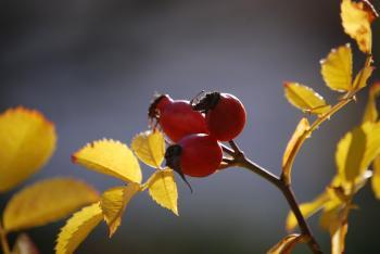 Šípkový likér Ládi Hrušky